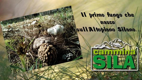 Scopriamo qual è il primo fungo che nasce sull'Altopiano Silano…